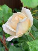 4th Jun 2020 - Rainy day rose