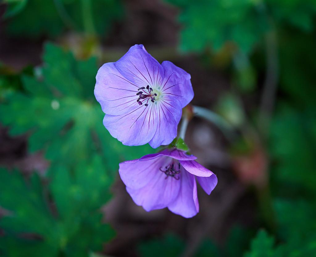 Geranium Flowers by gardencat