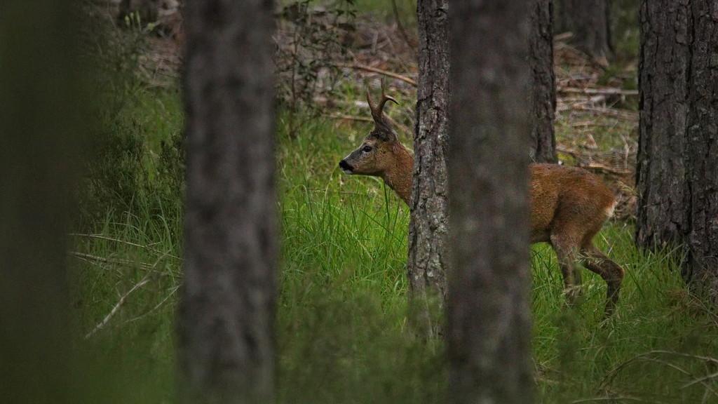Roe deer by petaqui