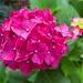 LHG-6873-Pink Hydrangra