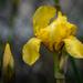 iris full bloom