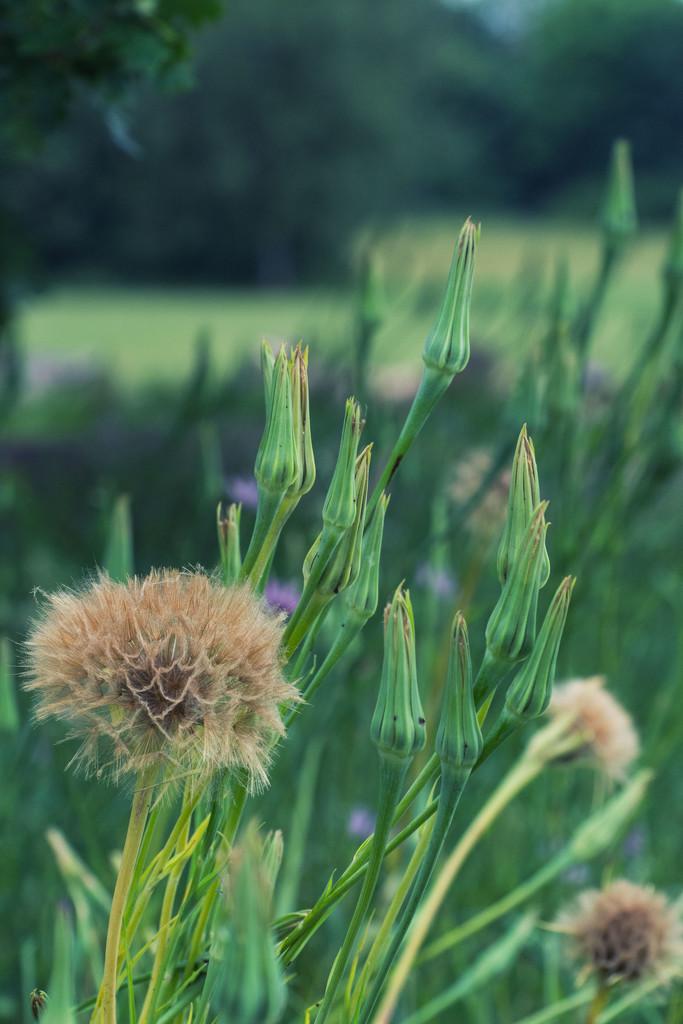 Salsify seedheads  by rumpelstiltskin