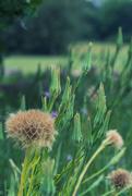 4th Jun 2020 - Salsify seedheads