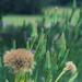Salsify seedheads