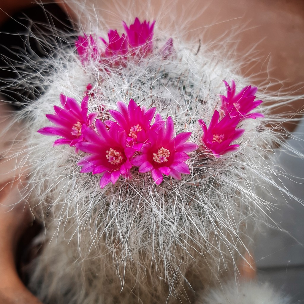 Fluffy cactus  by salza
