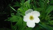 5th Jun 2020 - Little White Flower