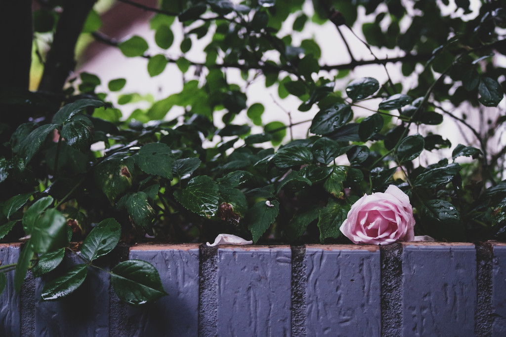Blossom after the rain by toinette