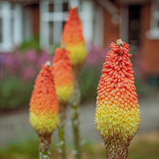 4th Jun 2020 - red hot poker