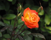 5th Jun 2020 - Sunset Rose