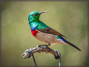 6th Jun 2020 - Double collared Sunbird
