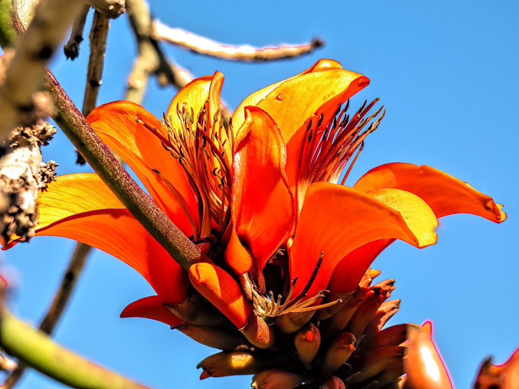 The Coral tree is flowering by ludwigsdiana