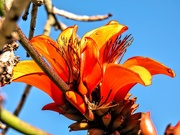 6th Jun 2020 - The Coral tree is flowering