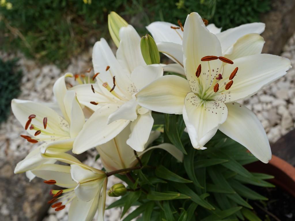 lilies in a pot by quietpurplehaze