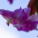 another christmas cactus
