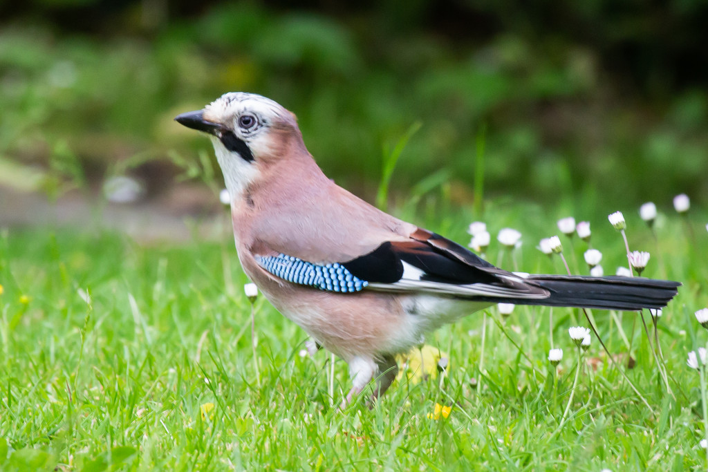 The elusive Jay by pamknowler