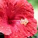 Mom's Hibiscus by juliedduncan