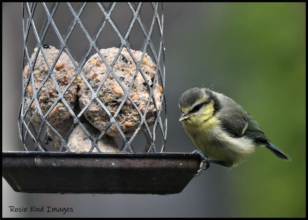 RK3_8024 One of the fledglings by rosiekind