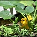 RK3_8008 Courgette flowers