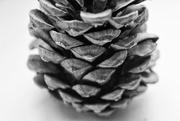 6th Jun 2020 - Pine cone