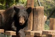6th Jun 2020 - Black bear