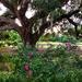 Roses and live oak, Hampton Park