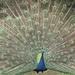 Peacock (BOB)
