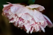 6th Jun 2020 - Rain soaked Peony