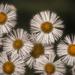 Daisy Fleabane by skipt07