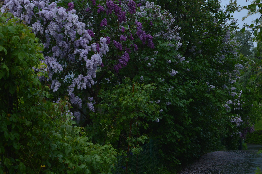 It's that lilac time of year again by didi