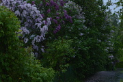 6th Jun 2020 - It's that lilac time of year again