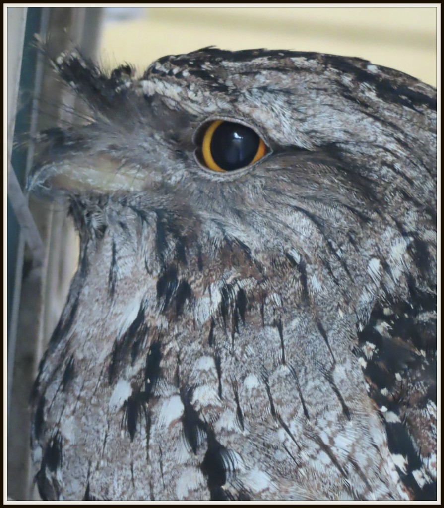 Frogmouth Owl by loey5150