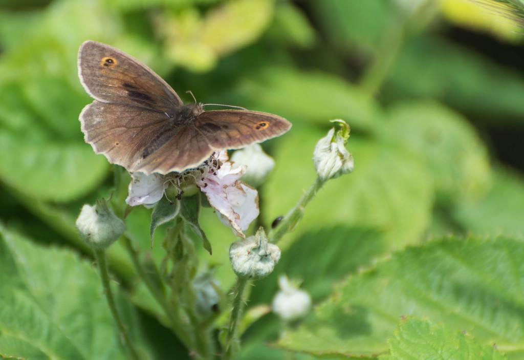 Meadow Brown butterfly by rumpelstiltskin