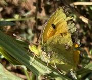 7th Jun 2020 - Hurt butterfly