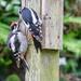 Baby woodpecker feeding by pamknowler