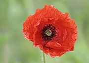 7th Jun 2020 - Wild Poppy