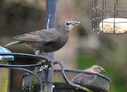 7th Jun 2020 - Young Starling and Sparrow