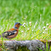 Chaffinch by pamknowler