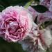 Peonies in full bloom by mittens