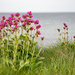 Campion by lifeat60degrees