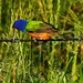Painted Bunting Finally Stops by milaniet