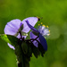 Spiderwort with insect by randystreat