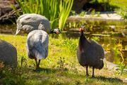 7th Jun 2020 - Helmeted Guineafowl