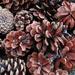 Pine Cones by granagringa