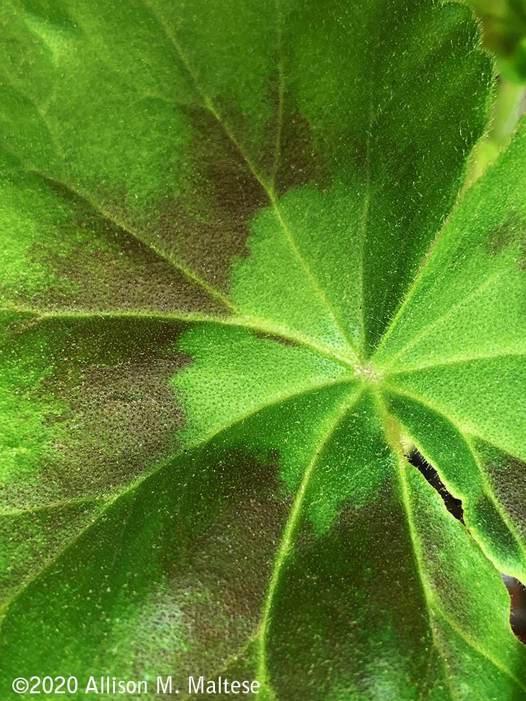 Geranium Leaf by falcon11