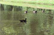 6th Jun 2020 - Duck Family Swim
