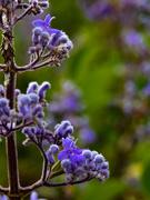 7th Jun 2020 - Purple flowers