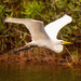 Egret on the Fly-away! by rickster549