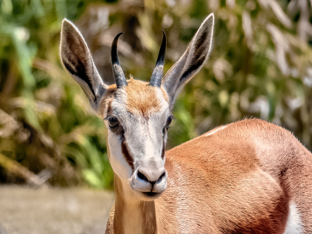 Springbuck up close by ludwigsdiana