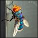 Bluebottle Fly by ludwigsdiana