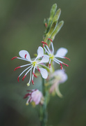 5th Jun 2020 - another tiny wildflower